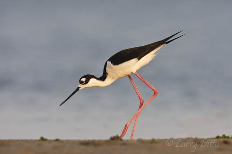 Black-necked Stilt feeding along the edge of the Laguna Madre at South Padre Island.
