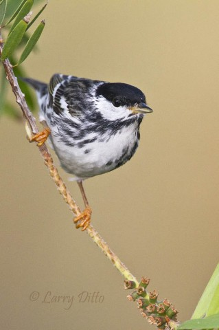 This nice blackpoll male arrived at my South Padre Island perch well ahead of the other birds and while the light was rich.