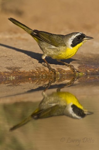Common Yellowthroat about to bathe.
