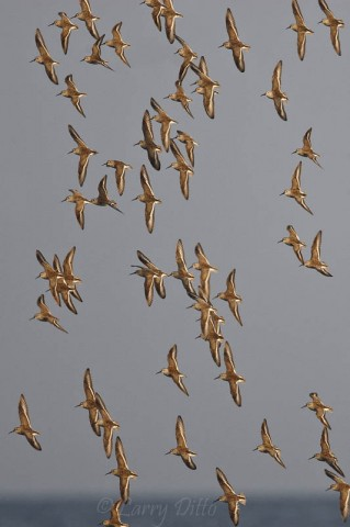 These dunlins held a tight formation while whirling about the tidal flats on South Padre Island.