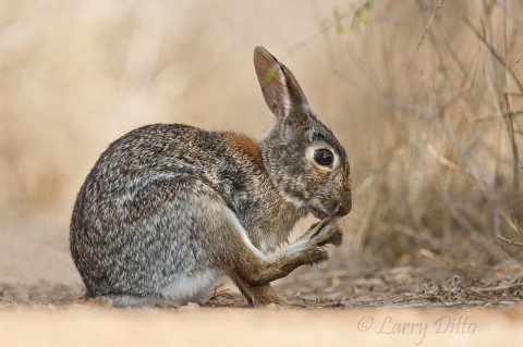 Eastern Cottontail keeping those toenails clipped.