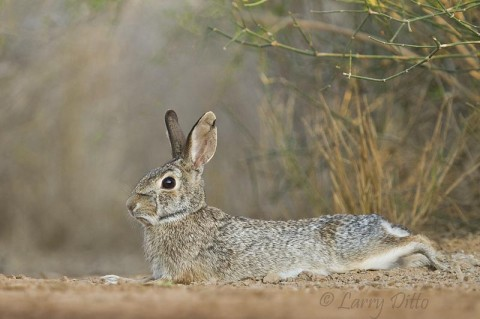 Eastern Cottontail resting in the cool dust of the south Texas desert brushlands.
