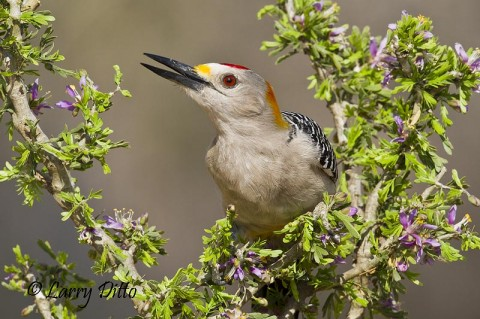 Golden-fronted Woodpeckers readily land on guayacan bush perches, too.