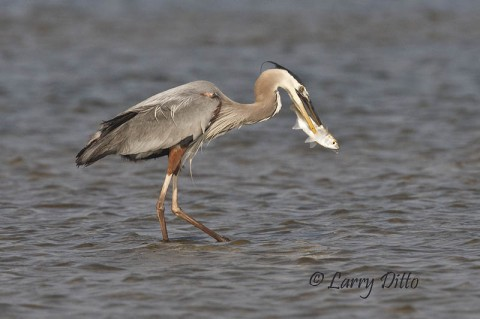 Unlucky mullet speared by a great blue heron.