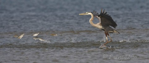 Great Blue Heron chasing mullet in the shallows of the Laguna Madre at South Padre Island.