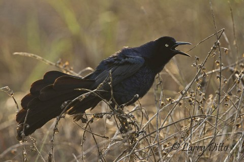 This displaying great-tailed grackle was the first bird I saw at South Padre Island.  He's not exactly what I was after, but I couldn't resist the display.