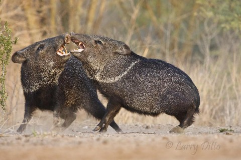 A handfull of corn just isn't enough to satisfy two javelinas so something has to give.
