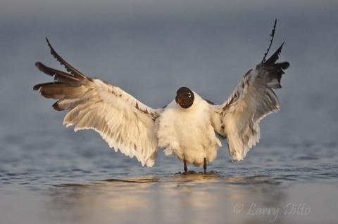 Laughing gull bathing in the Laguna Madre at sunrise.