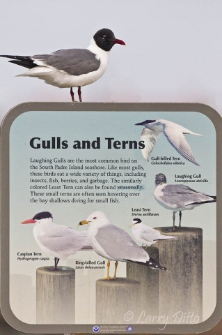 Who says Laughing Gulls can't read.  This sign is on the South Padre Island Birding Center boardwalk.