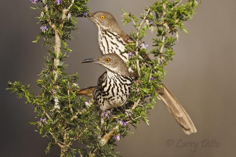 This pair of Long-billed Thrashers regularly visit the photo blind water hole, even while nest building.