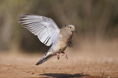 Mourning dove take-off with water flying
