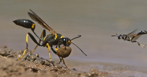 Mud Dauber and escort with a ball of mud