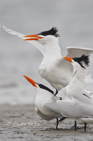 This coming week, we hope to see lots of Royal terns and songbirds at the South Padre Island Photo Tour.