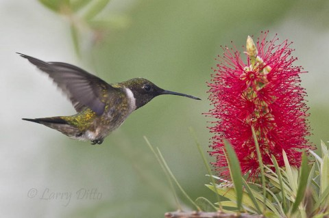 Male ruby-throated hummingbird feeding at bottle brush blooms by the South Padre Island Convention Center.