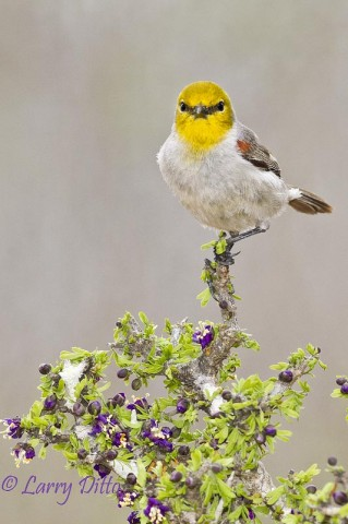 This colorful verdin looked stiking atop the blooming guayacan bush.  Water and fresh orange slices attract the guys to south Texas photo blinds.