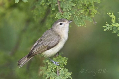 This warbling vireo spent the morning of April 20 foraging among the leaves of huisache and tepeguaje trees at the convention center.