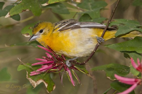 Female Baltimore Oriole feeding at Coral Bean flowers in the South Padre Island Convention Center thicket.