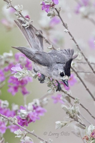 Black-crested Titmouse looking for sunflower seeds placed just below the cenizo blooms.