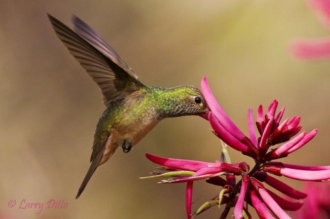 A Buff-bellied Hummingbird taking its turn at the Coral Bean blooms.