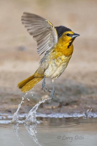 A young Bullock's Oriole male exploding from a pond at the Dos Venadas Ranch.