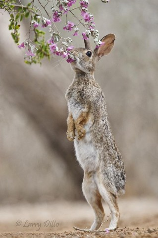 Even rabbits stop to smell the roses...cenizo.