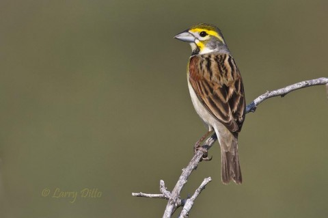 This bird was one of a flock of tired Dickcissels arriving at the Convention Center as we were unpacking our photo gear.