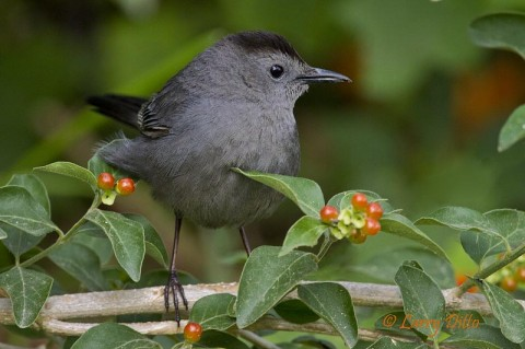 A Grey Catbird in search of ripe Berlandier Fiddlewood fruit.