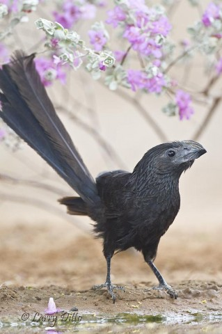 A Groove-billed Ani in front of the cenizo for a drink.