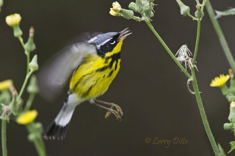 Magnolia Warbler hoveing at a thistle bloom while picking off insects.