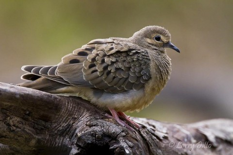 A young Mourning Dove perched on a fallen tree at Dorothy's Pond on the Santa Clara Ranch.