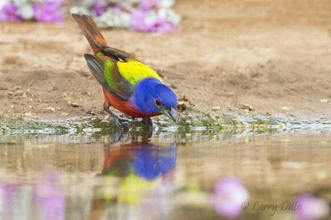 A few purple blooms add more color to the scene where a male Painted Bunting comes to drink.