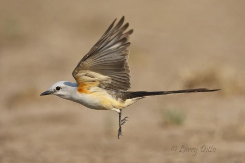 A scissor-tailed flycatcher on the wing reveals much more color than is visible when the wings are folded.