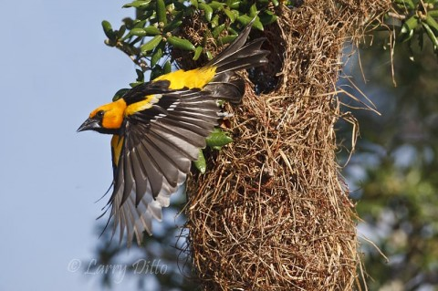 Altamira Oriole exits its sack-like nest in a south Texas liveoak.
