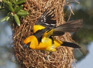 Altamira Oriole flying from nest.