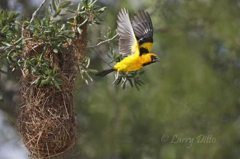 Altamira Oriole leaving the nest.