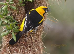 Altamira Oriole about to enter its sack-like nest in a live oak tree.