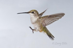 Black-chinned Hummingbird landing