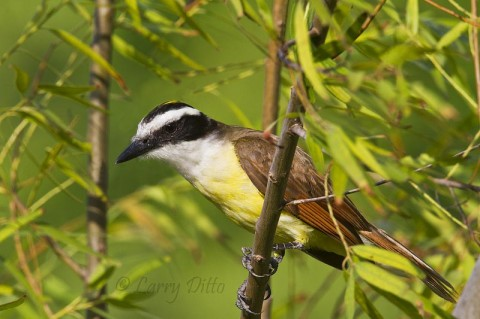 This Great Kiskadee was resting in a black willow near its nest over a resaca at the Sabal Palm Sanctuary.