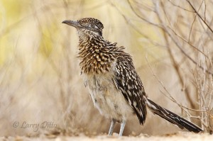 Greater Roadrunner after dust bath.
