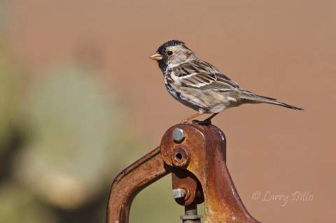 Harris's Sparrows winter on both ranches.  This one sits on a water pump jack at the Selman Ranch headquarters.