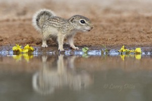 Young Mexican Ground Squirrel at a photography blind pond.