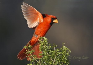 Northern Cardinal male landing on a guayacan bush.