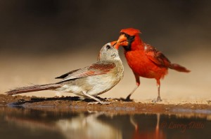 Courtship feeding ritual on Northern Cardinals.