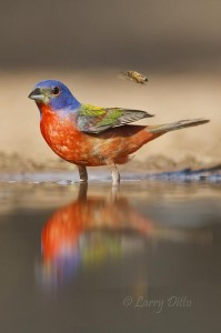 Honey bee buzzing a male Painted Bunting as it prepairs for a bath.