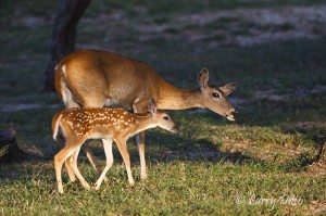 Doe and fawn white-tailed deer at sunrise.