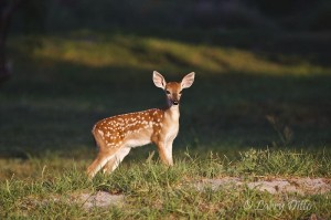 A fawn's first pose for the camera.