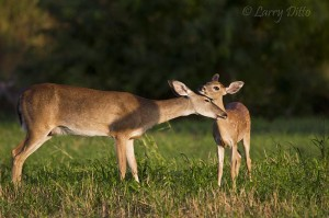 Fawn and doe share a touching moment.