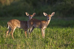 Timid fawns at sunset.