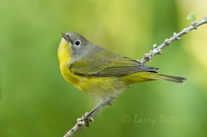 Nashville Warbler perched below a dripping water hose.  A passing droplet of water blurs his left leg.
