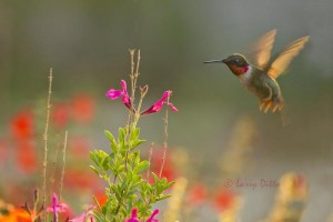 Ruby-throated Hummingbird male feeding at Salvia as the sun rises.